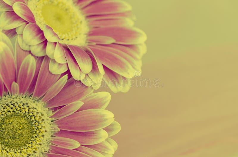 Pink gerber flower stock images