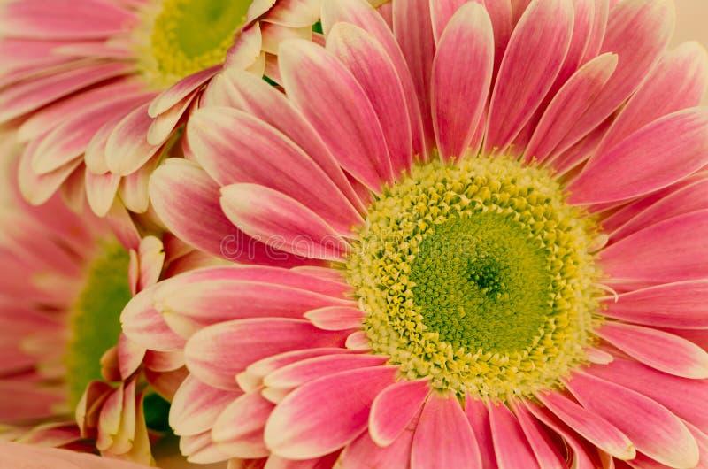 Pink gerber flower royalty free stock photo