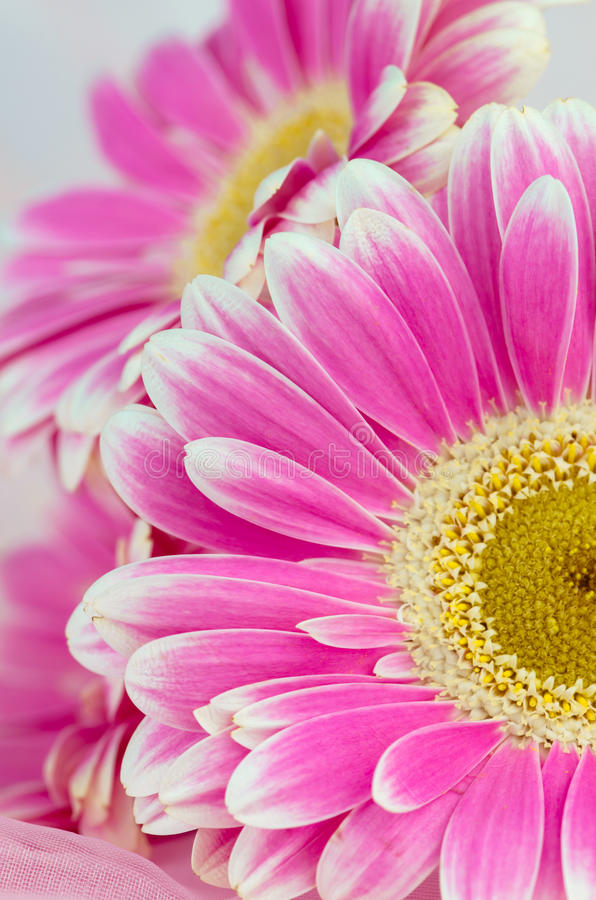 Pink gerber flower royalty free stock photos