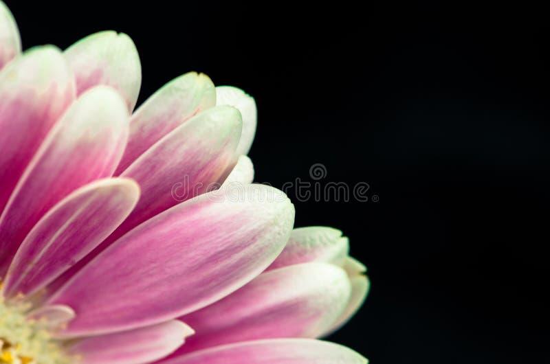 Pink gerber flower royalty free stock image