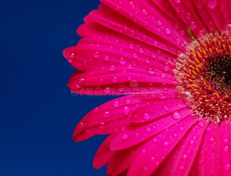 Pink gerber flower with drops stock photography