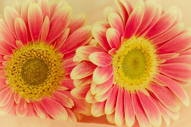 Pink gerber flowers stock image