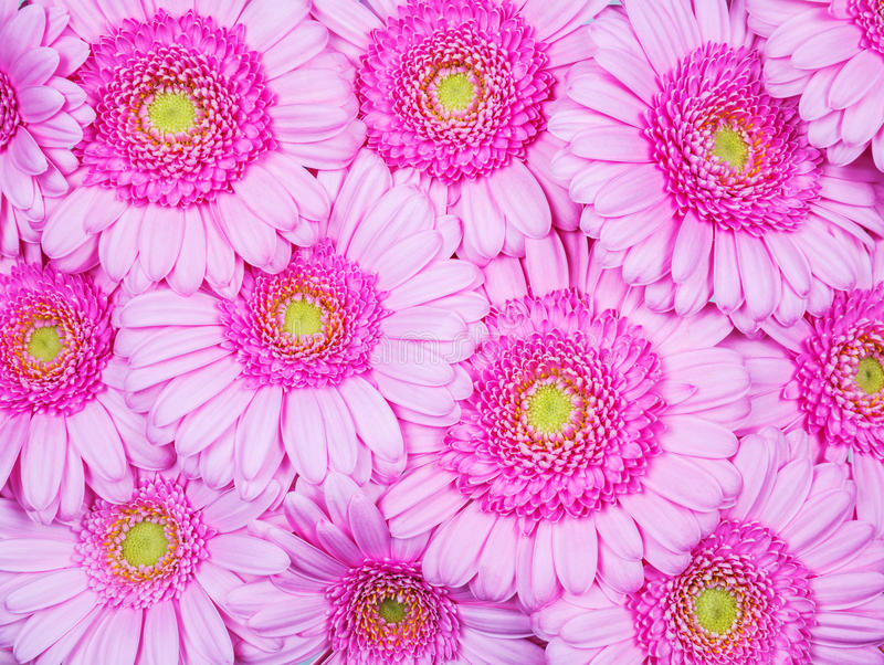 Pink Gerber flowers royalty free stock image