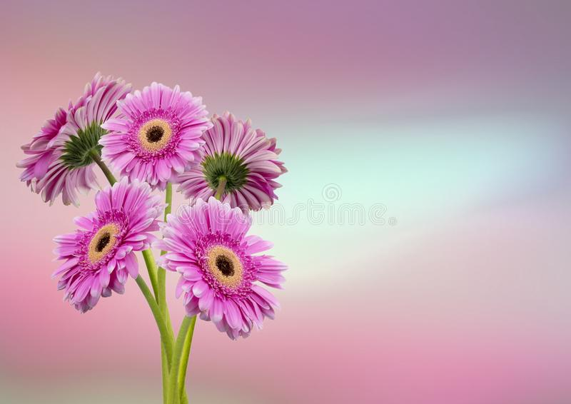 Pink Gerber`s. View of a pink Gerber`s on a pink background royalty free stock images
