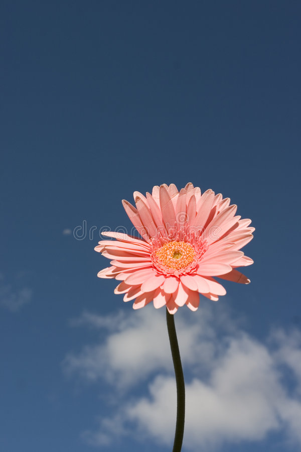 Download Pink Gerbera Royalty Free Stock Images - Image: 198539