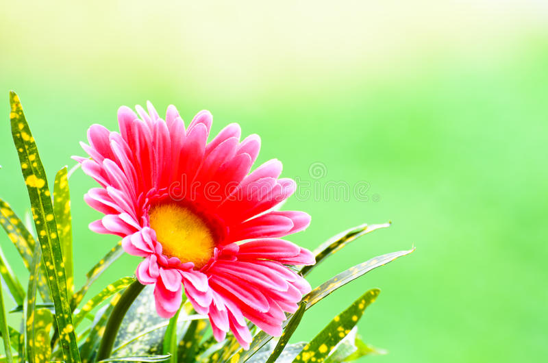 Download Pink Gerbera. Royalty Free Stock Photos - Image: 29573828
