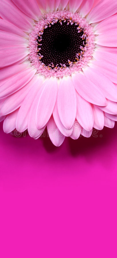 Download Pink Gerbera stock photo. Image of flowershop, power, nature - 520978