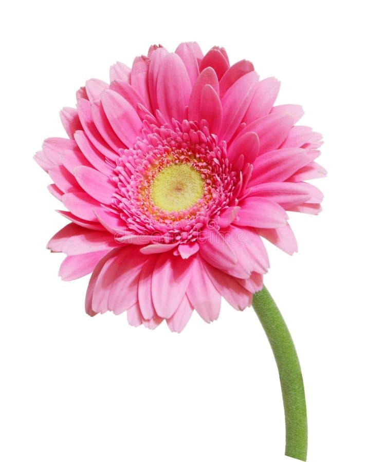 Free Pink Gerbera Stock Photo - 7933230