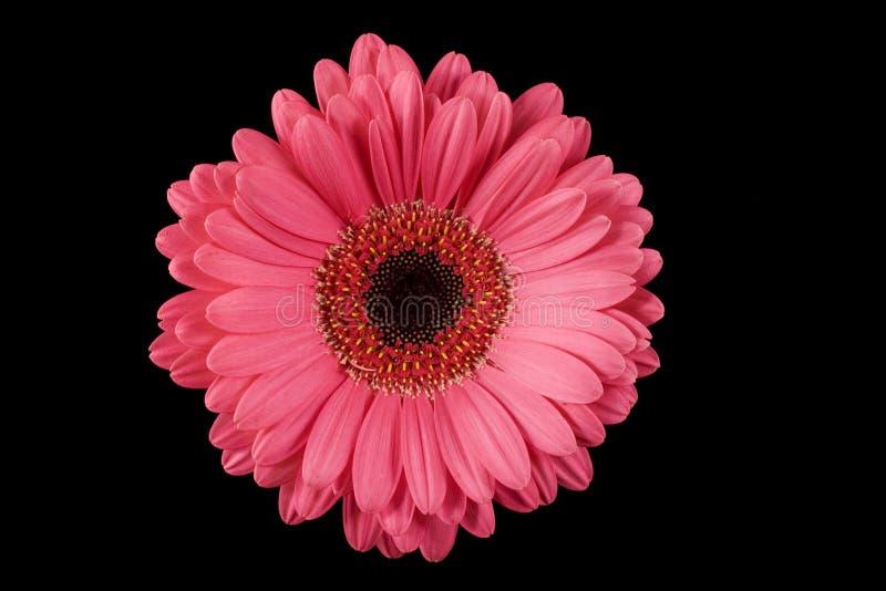 Pink Gerbera Daisy Black Background royalty free stock photos