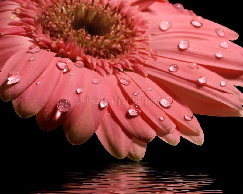Pink gerbera daisy with reflection stock photography
