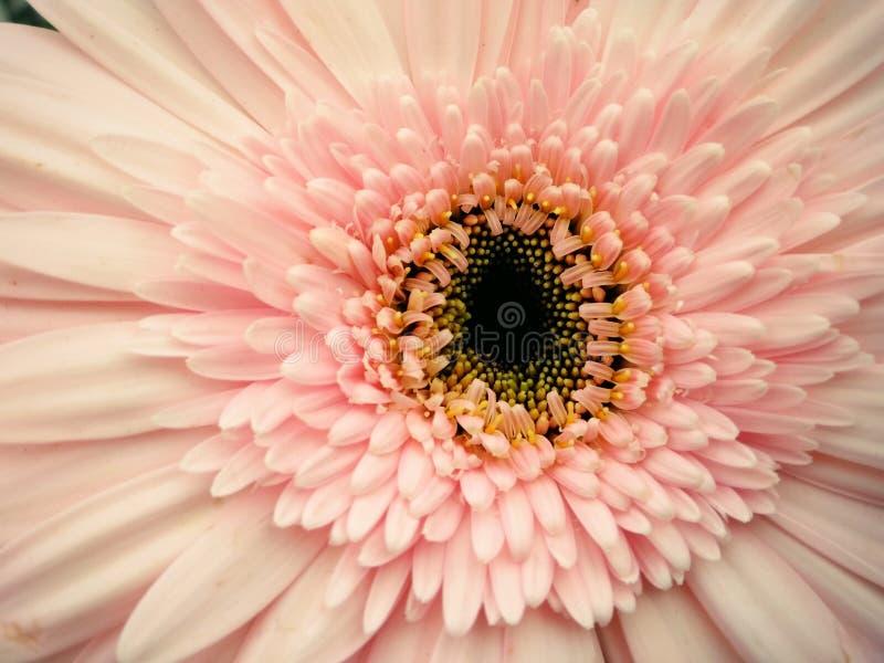 Pink Gerbera Flower in Closeup Photography stock image
