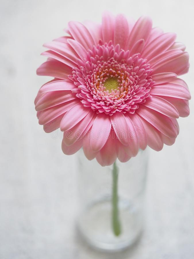 Pink Gerbera Flower in Closeup Photography royalty free stock image