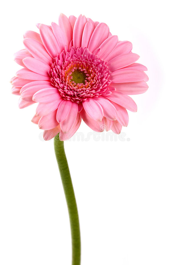 Free Pink Gerbera Flower Isolated On White Background Royalty Free Stock Photo - 6845905