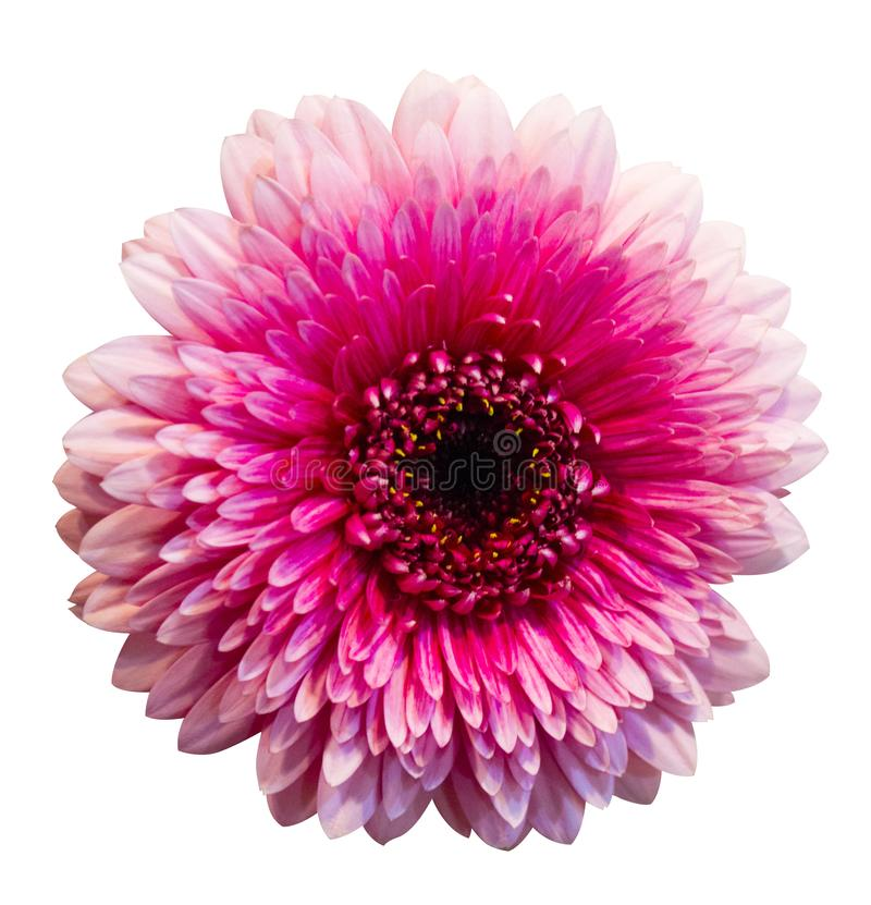 Pink gerbera flower isolated on white  background stock photo
