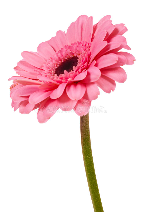 Pink gerbera flower isolated on white background. Beautiful flower royalty free stock images