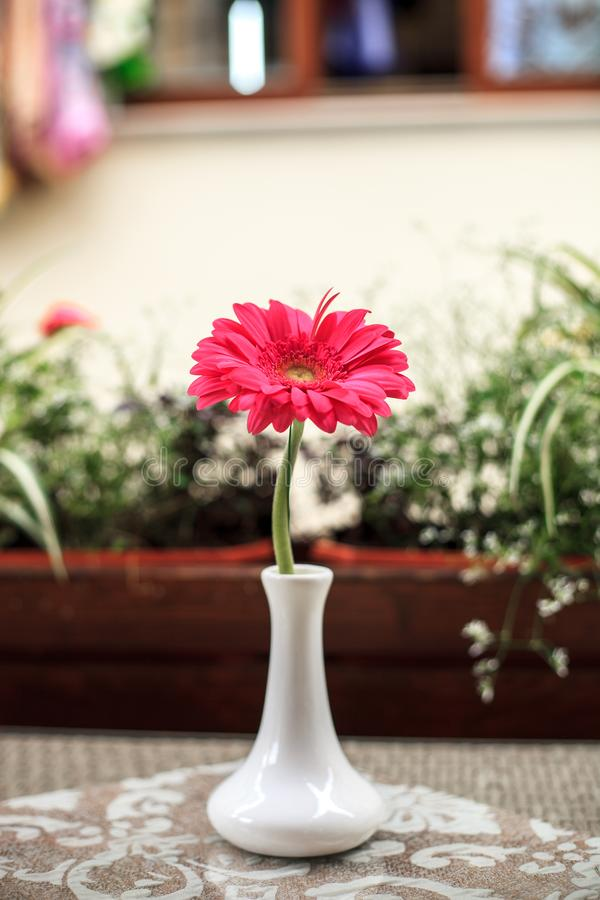Pink Gerbera flower in small white vase on table stock photos