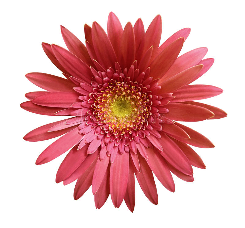 flower Pink gerbera flower on white isolated background with clipping path. Closeup. no shadows. For design. royalty free stock photo