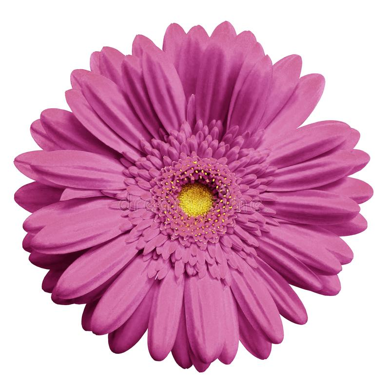 Pink gerbera flower white isolated background with clipping path download pink gerbera flower white isolated background with clipping path closeup no shadows mightylinksfo