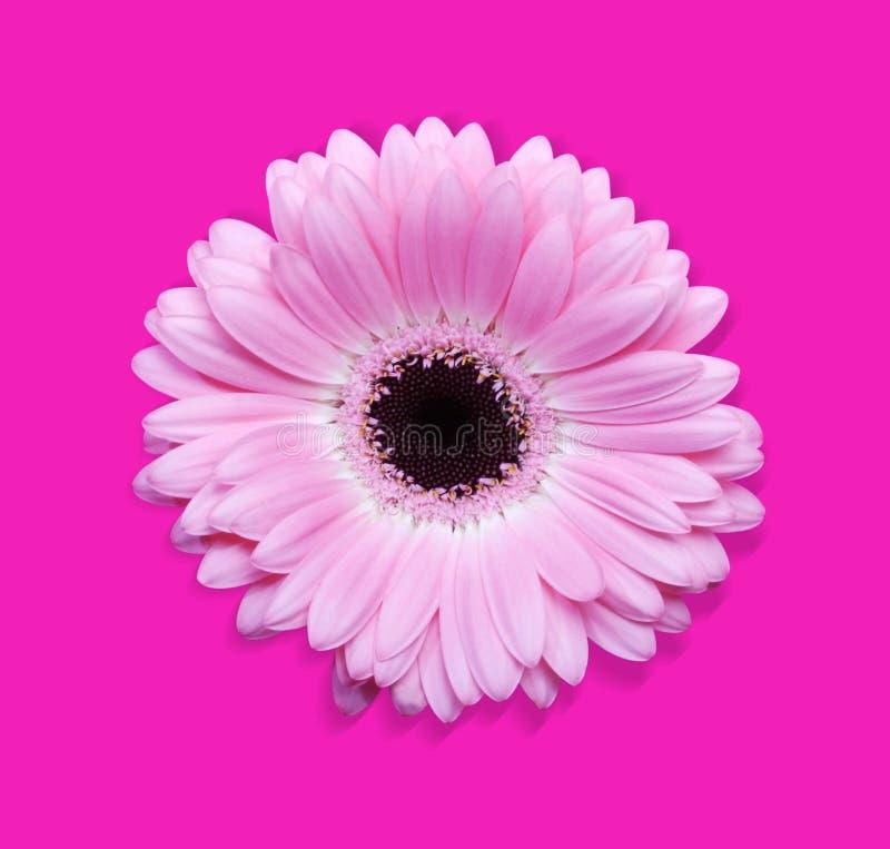 Pink Gerbera With Path Stock Photo