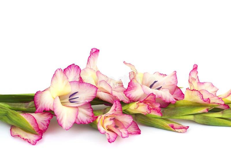 Pink gladiolus stock photos