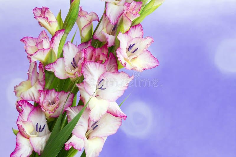 Pink gladiolus royalty free stock image