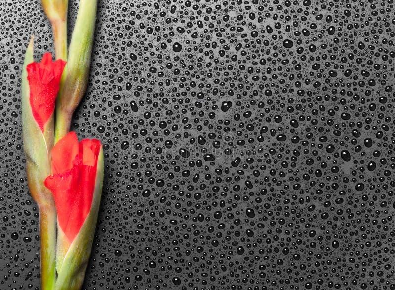 Download Pink Gladiolus On Dark Background Stock Image - Image: 26666295