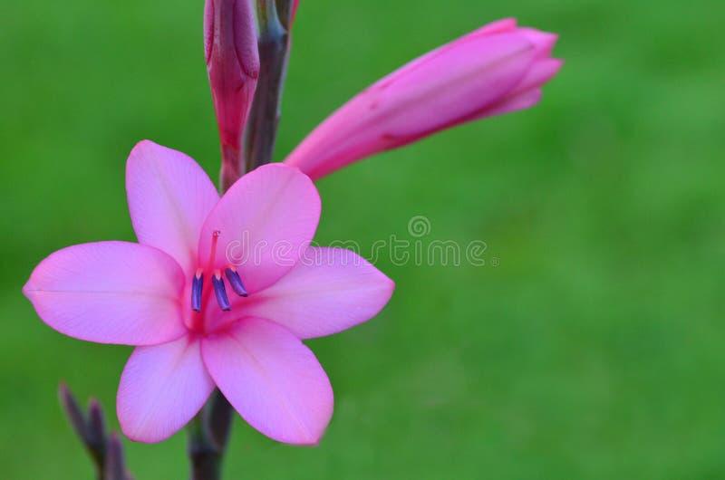 Pink Gladiolus flower royalty free stock images
