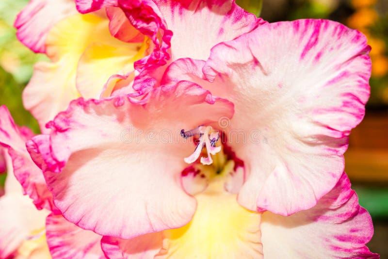 Pink gladiolus flower close-up stock photos