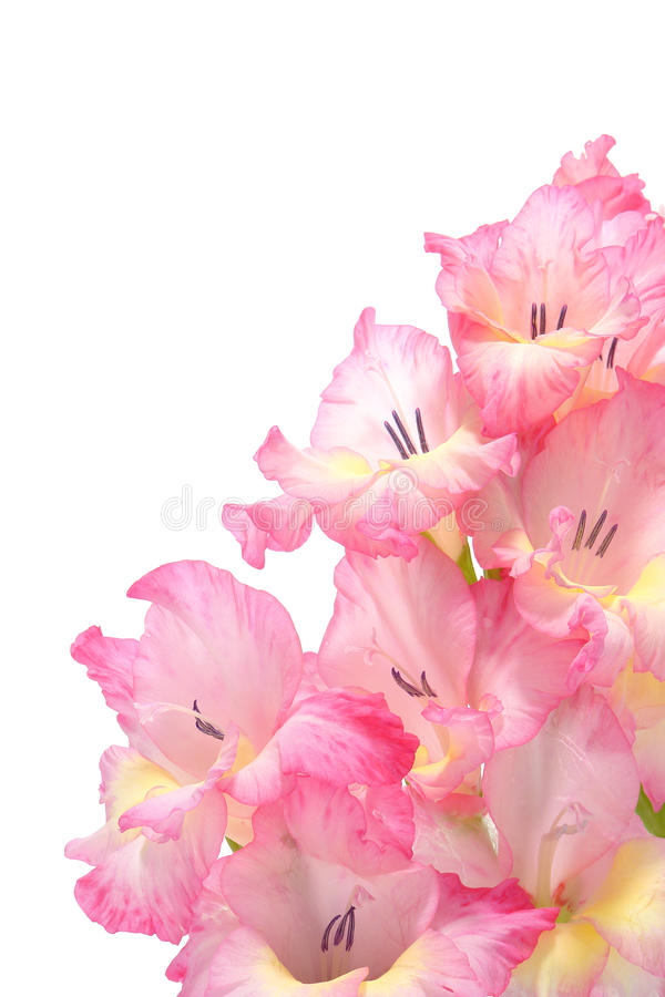 Pink Gladiolus Flowers Bouquet Isolated on White royalty free stock image