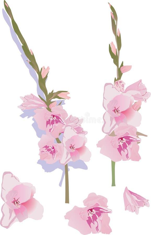 Download Pink Gladiolus Flowers Illustration Stock Vector - Image: 14052624