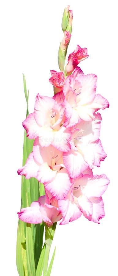 Pink gladiolus flowers isolated royalty free stock image