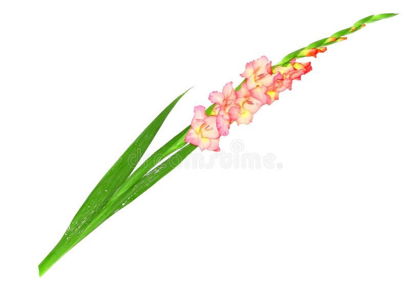 Pink gladiolus . Isolated on white. stock photo