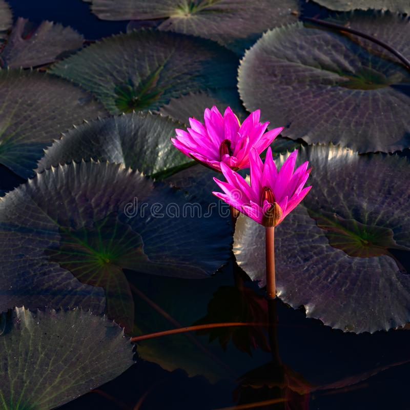 Pink glowing water lilies - Nymphaea - with dark leaves on pond royalty free stock photo