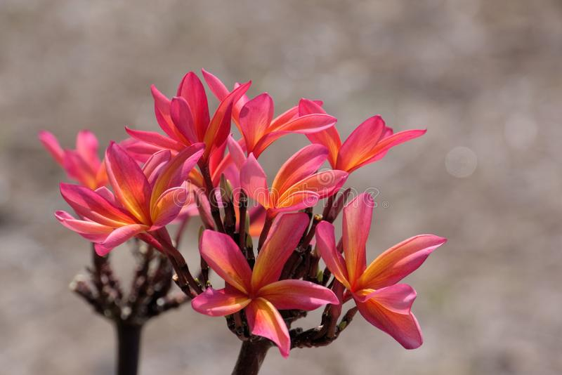 Download Pink And Gold Plumeria Blossoms Stock Photo - Image of kailua, colorful: 32778902