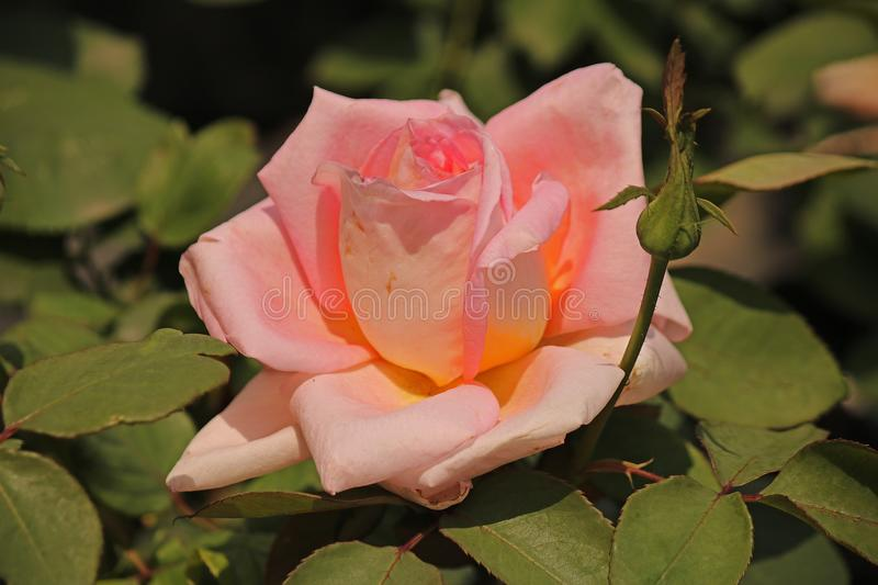 PINK AND GOLD TINTED ROSE royalty free stock photos