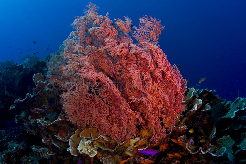 Pink gorgonian sea fan with fish royalty free stock photos