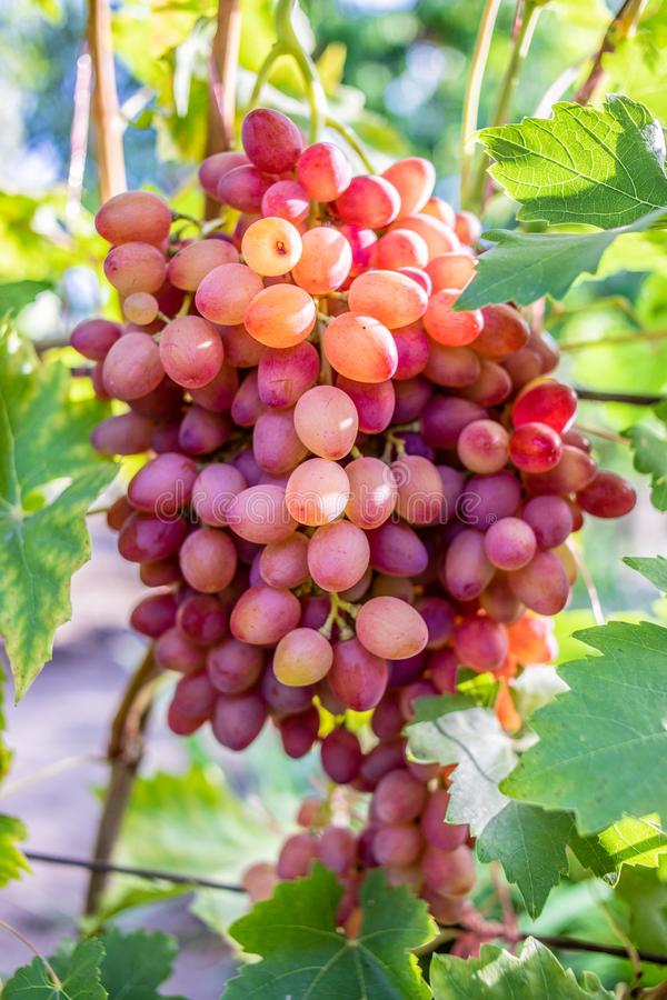 Pink  Grape in a vineyard close up. Bunch of Ripe red wine grapes royalty free stock image