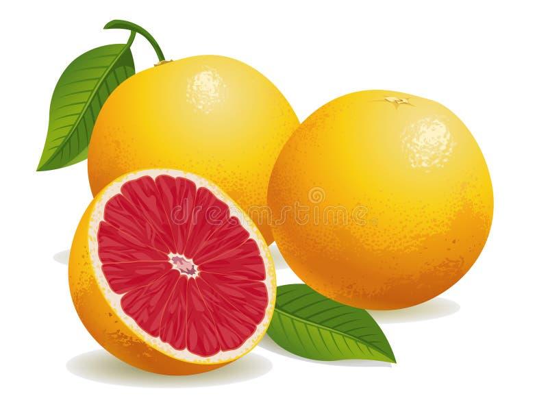 Pink Grapefruit vector illustration