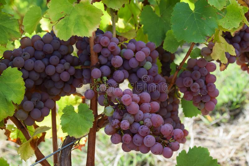 pink grapes in france vineyard royalty free stock image