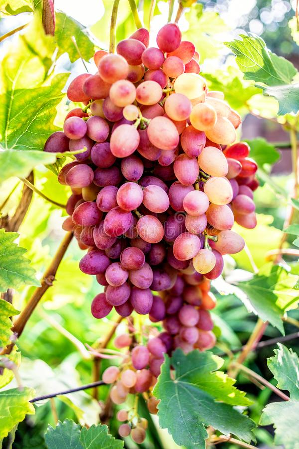 Pink grapes in a vineyard close up. Ripe red wine grapes stock photos