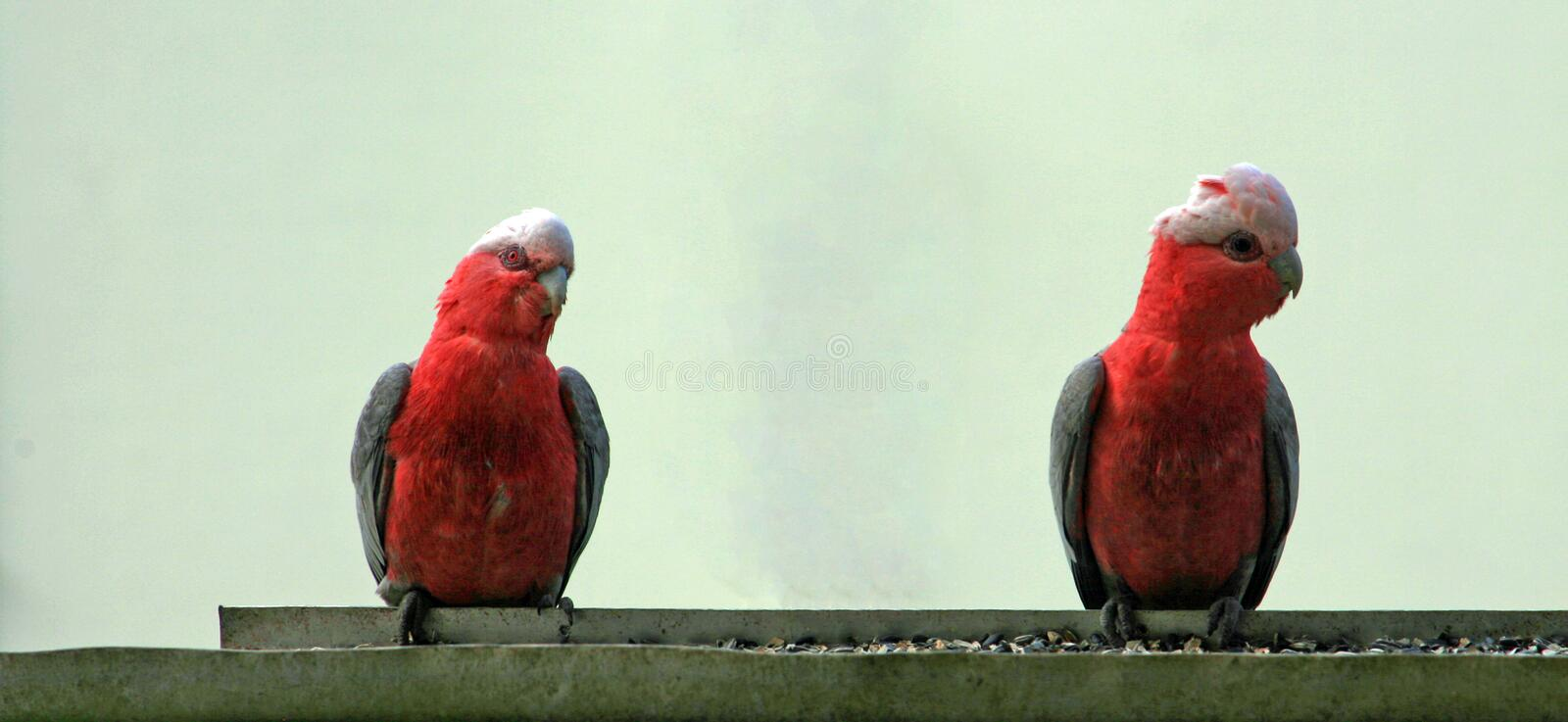 Pink and Gray Gala / Galah Parrots in Drouin Victoria Australia. AUS stock image