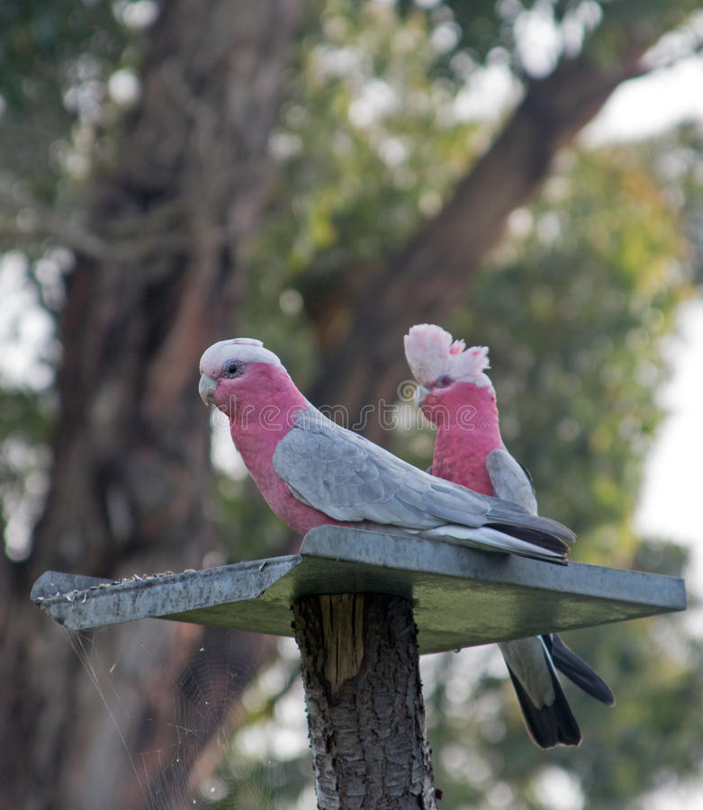 Pink and Gray Gala / Galah Parrots in Drouin Victoria Australia. AUS stock images
