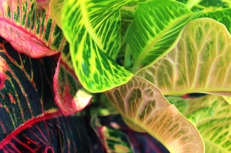 Pink and green Dieffenbachia Leaves or Dumb Cane Leaves Background. stock photo