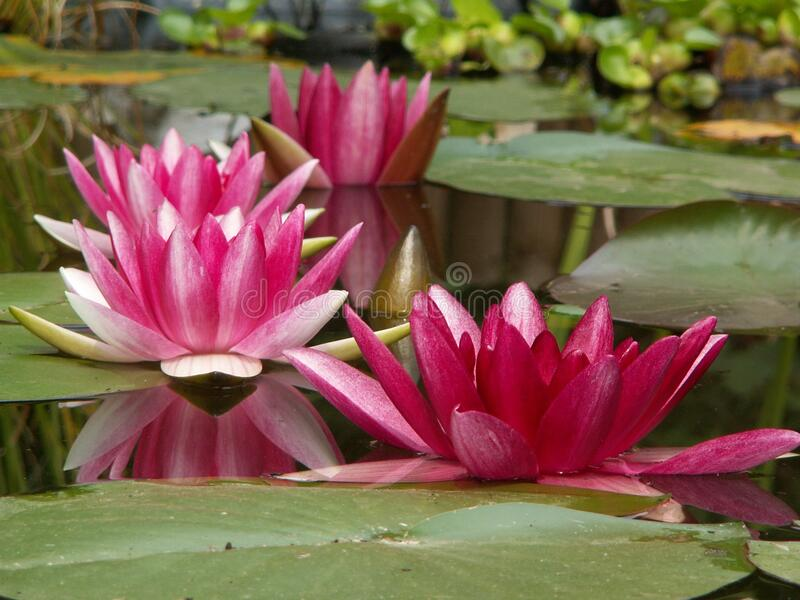 Pink And Green Water Lily Free Public Domain Cc0 Image