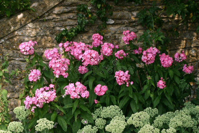 Pink and greenish white flowers against a wall. Pink and greenish white flowers against an old stone wall royalty free stock photos