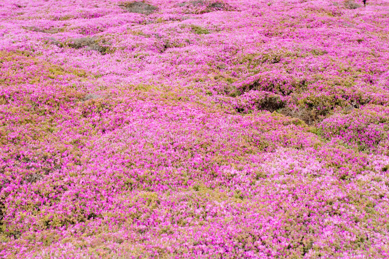 Pink groundcover flowers stock image image of nature 2608385 download pink groundcover flowers stock image image of nature 2608385 mightylinksfo