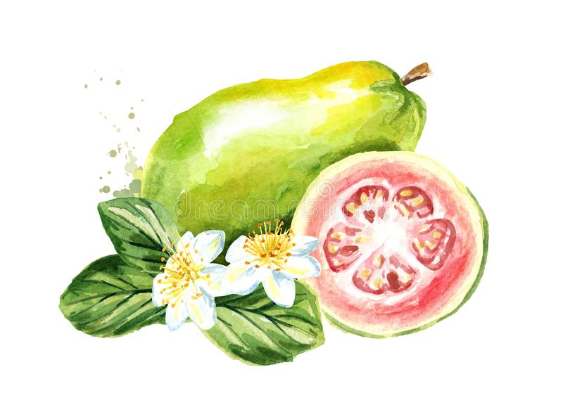 Pink guava fruit with leaves and flowers. Watercolor hand drawn illustration isolated on white background. vector illustration