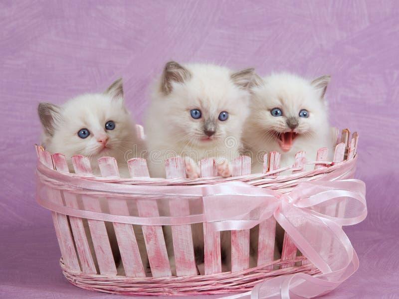 pink gulliga kattungar för korg nätt ragdoll royaltyfri fotografi