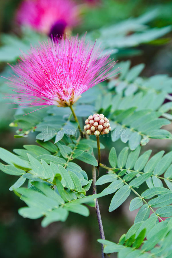 Pink Gum Blossom. Vertical color portrait of generic tropical Pink Gum Blossom with leaves and empty space. Image was captured in a garden at Pondicherry, Tamil stock images