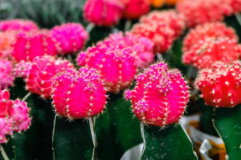 Pink Gymnocalycium cactus flowers top. Indoor ornamental plant. royalty free stock image